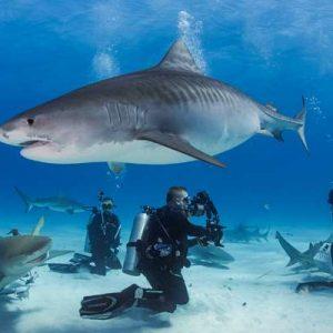 Paper Published on Tiger Shark Socialization