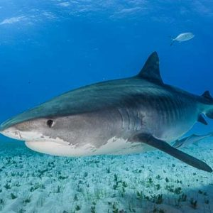 New Shark Conservation Measures