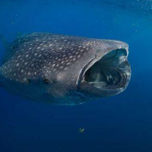 NOAA Webinar About Whale Sharks