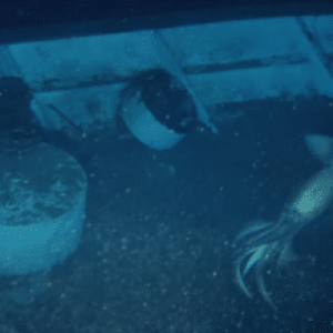 Giant Squid Photobombs OceanX Shipwreck Exploration