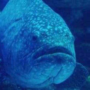 Florida Is Thinking About Lifting The Ban On Harvesting The Goliath Grouper