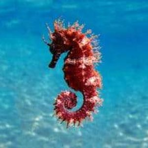 Could Seahorses Be At Risk Of Extinction?