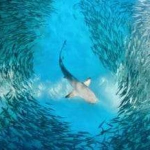 Different Shark Species Don't Hunt At The Same Time